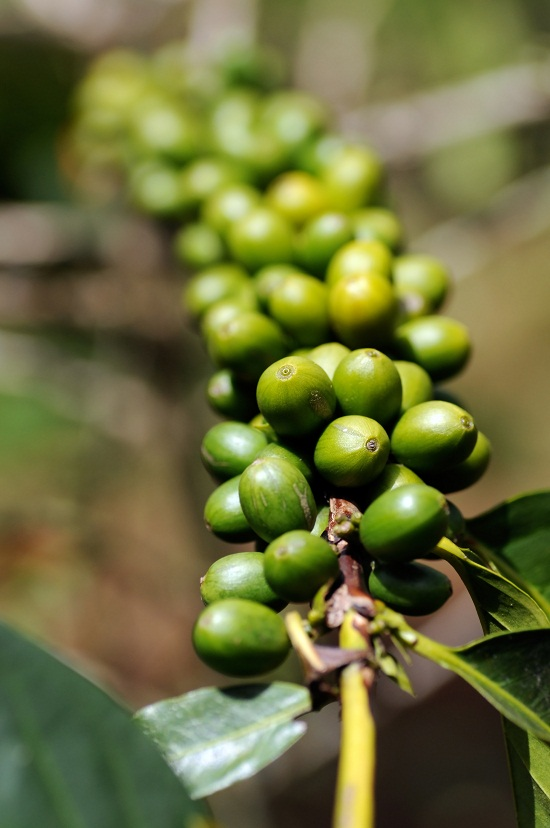 green been coffee extract
